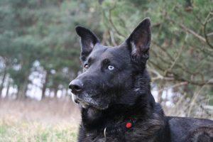 Bintas, der Hofhund in Bokelberge