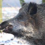 Emely, das besondere Wildschwein von Bokelberge