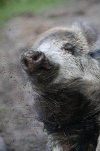 Willy, das Wildschwein - Tiere in Bokelberge