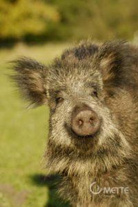 Emely, ein Wildschwein auf dem Tierhof in Bokelberge