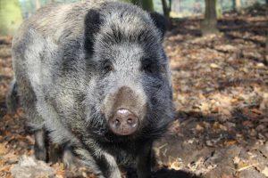 Willy, das Wildschwein aus Bokelberge